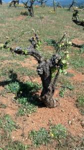 Old MB Vine